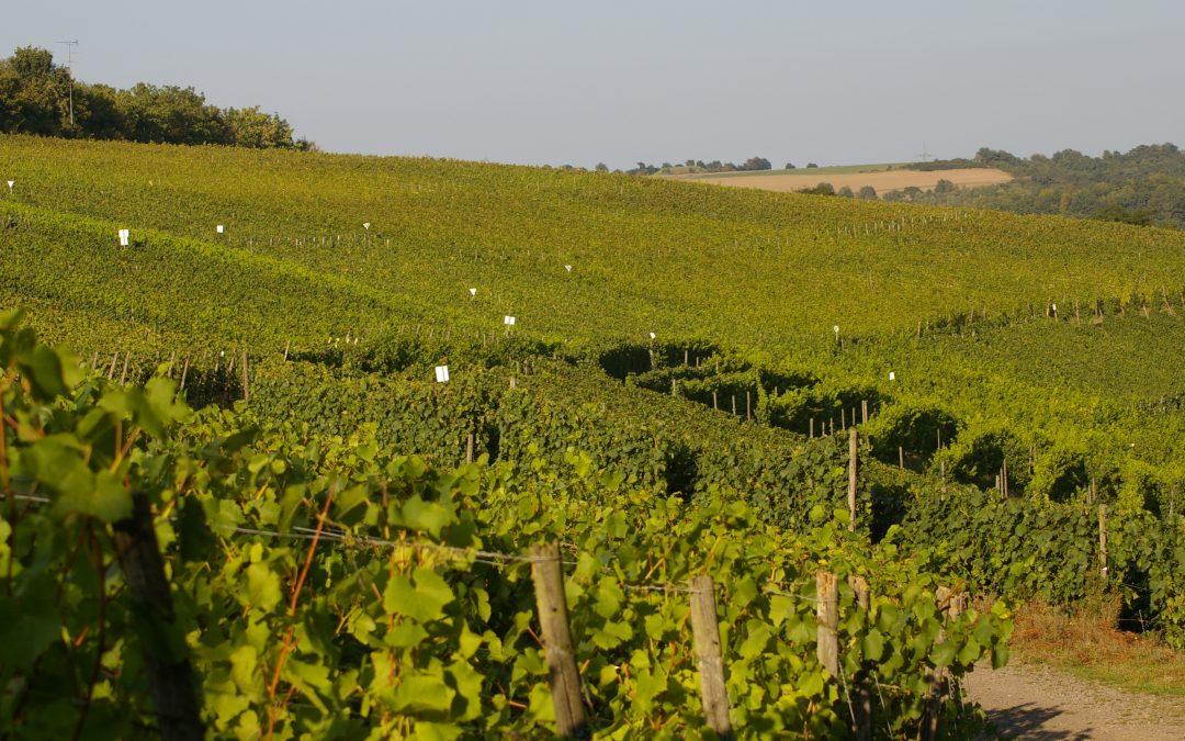Den Trierer Domherren schmeckte der Lehmener Wein vorzüglich